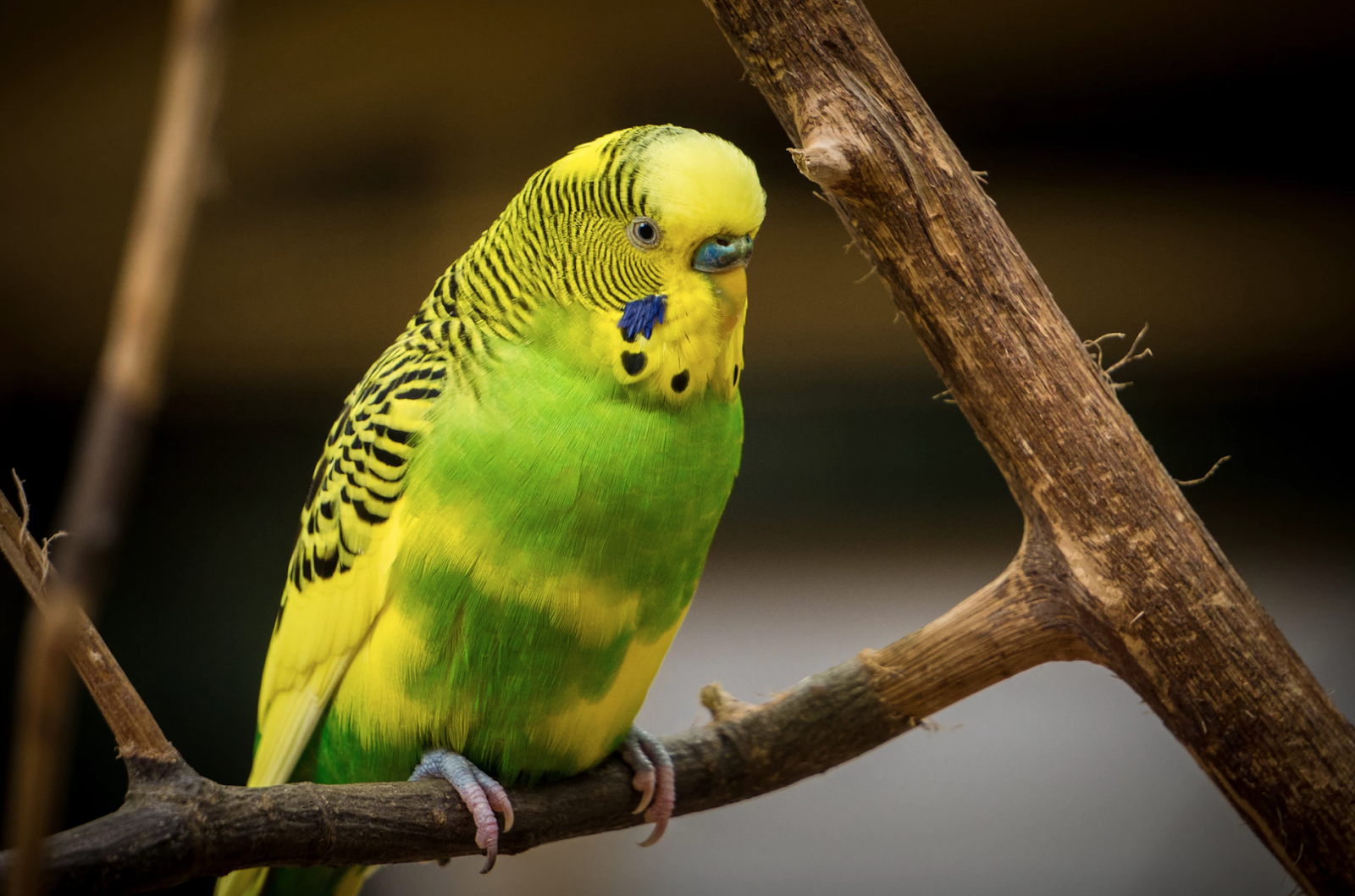A yellow and green parakeet perches on a branch, ready to climb for exercise.