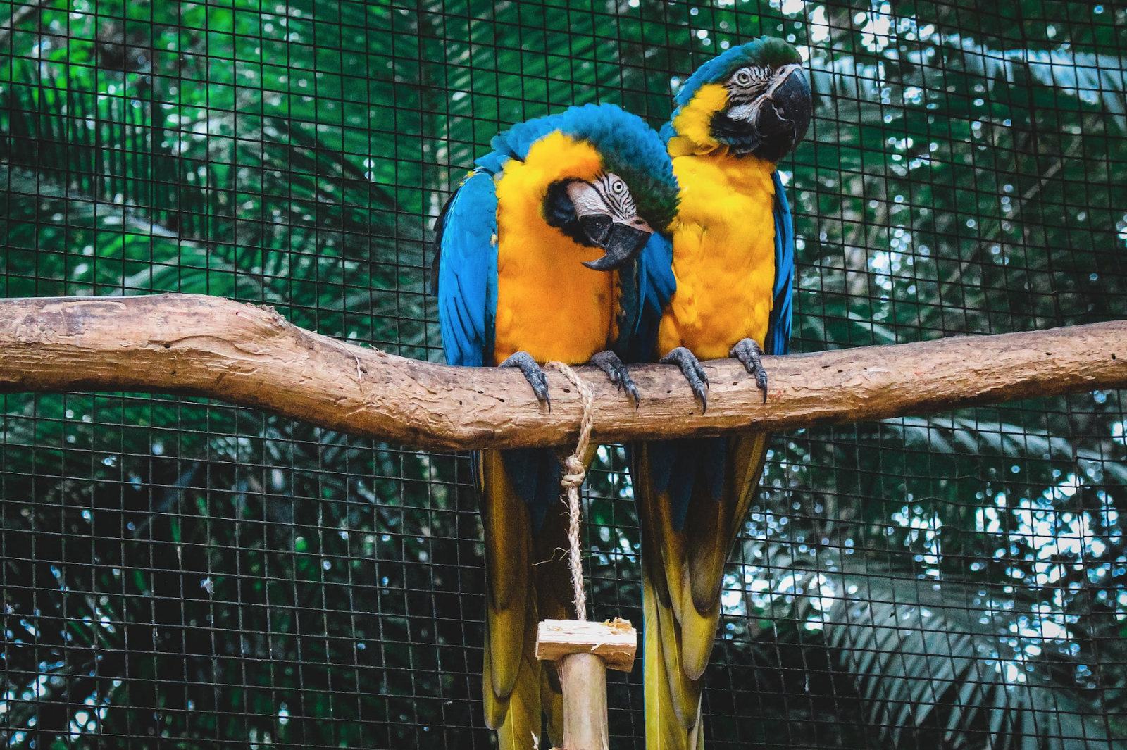 Two large birds with yellow stomachs, blue wings, and large beaks perch on a branch in a netted in enclosure.