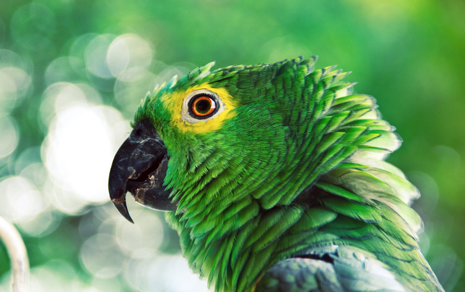 A green parrot in profile