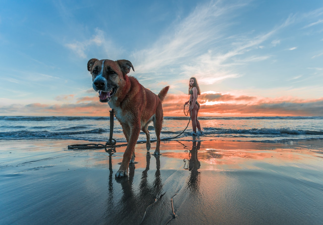 A woman holding a long leash stands in the breaking waves on a beach at sunset as her dog walks ashore
