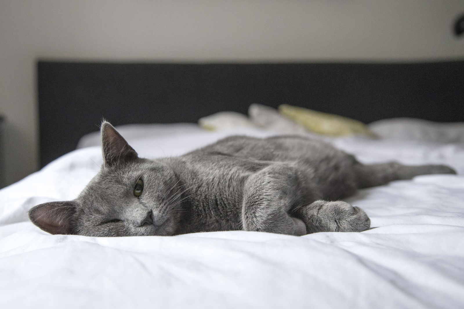 Grey Cat Laying on a Bed With White Sheets