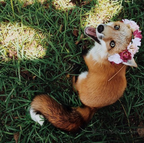 juniper the fox wearing a pink and white flower headband