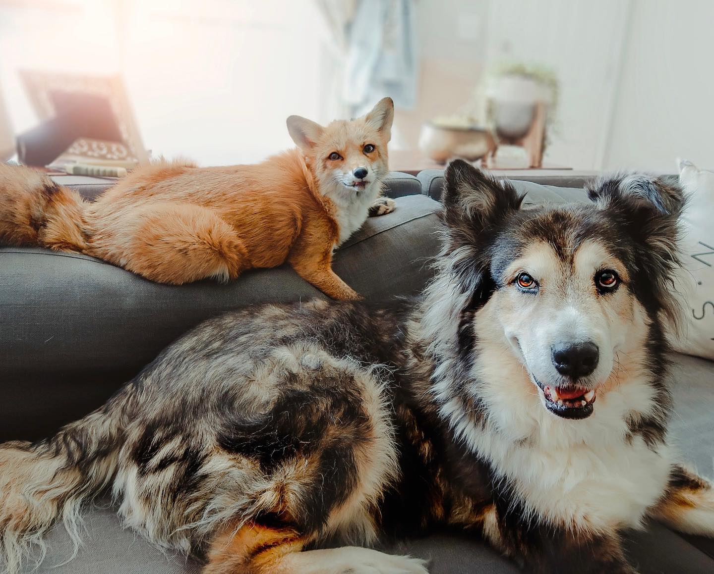 Orange Fox and Black and Brown Dog Smiling On the Couch