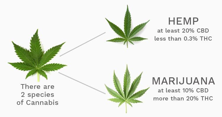 Hemp and Marijuana Leaves with THC to CBD Comparison