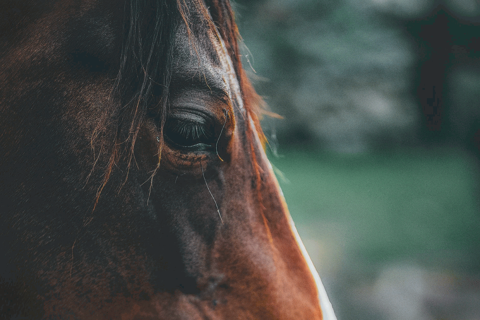 a brown horse's face