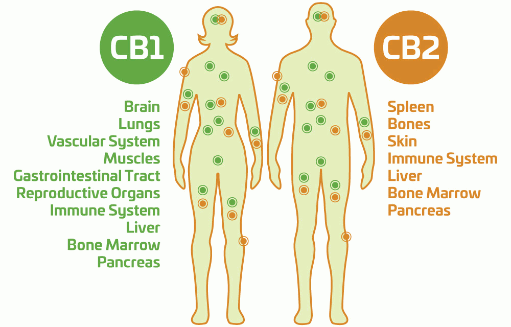 Ho CBD1 and CBD2 Affects the Body