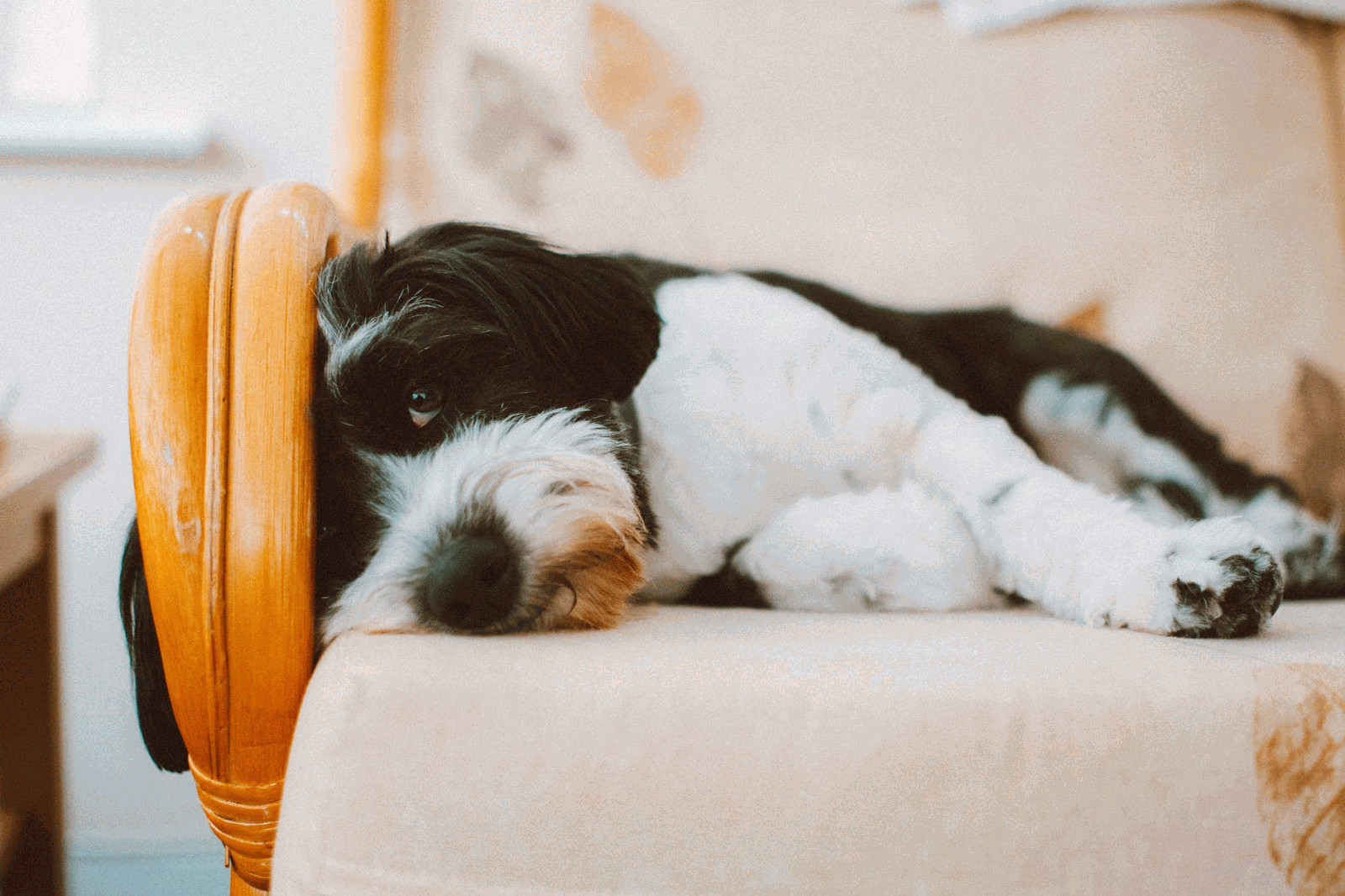 Black and White Dog Laying on a Chair Looking Sleepy