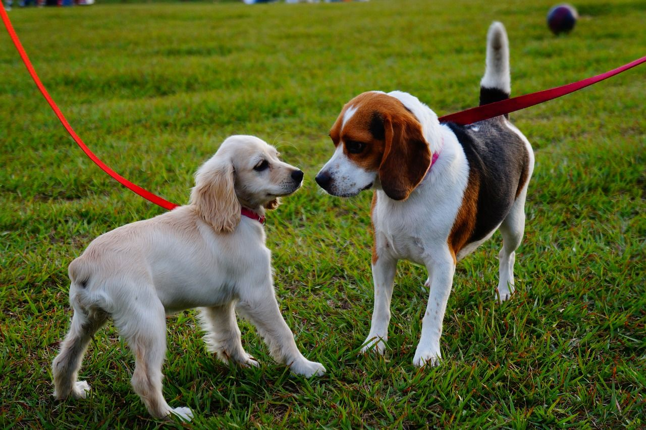 Two small dogs on separate leashes sniffing each other in a field of grass