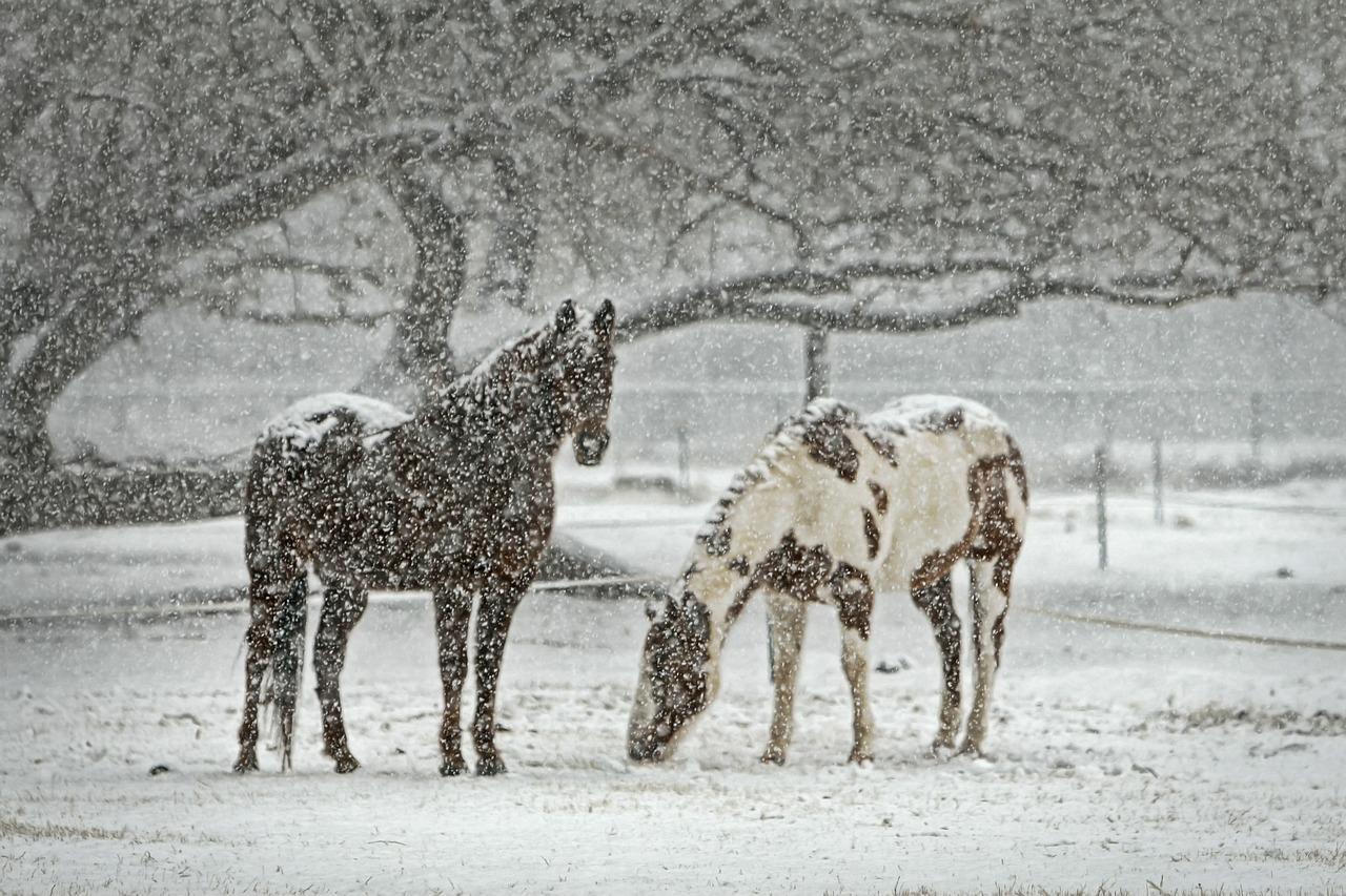 horses grazing in winter