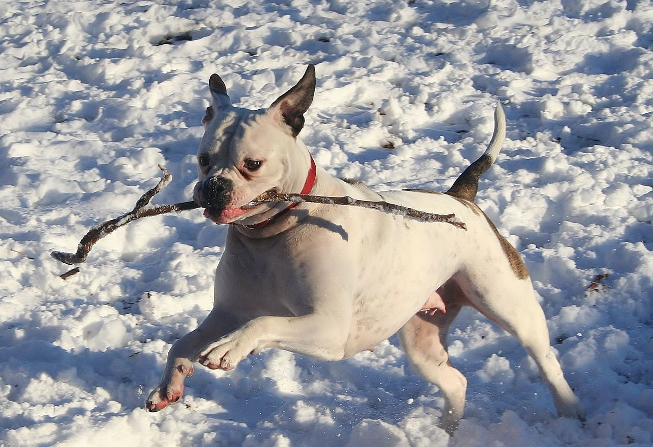 a white dog running through the snow with a stick