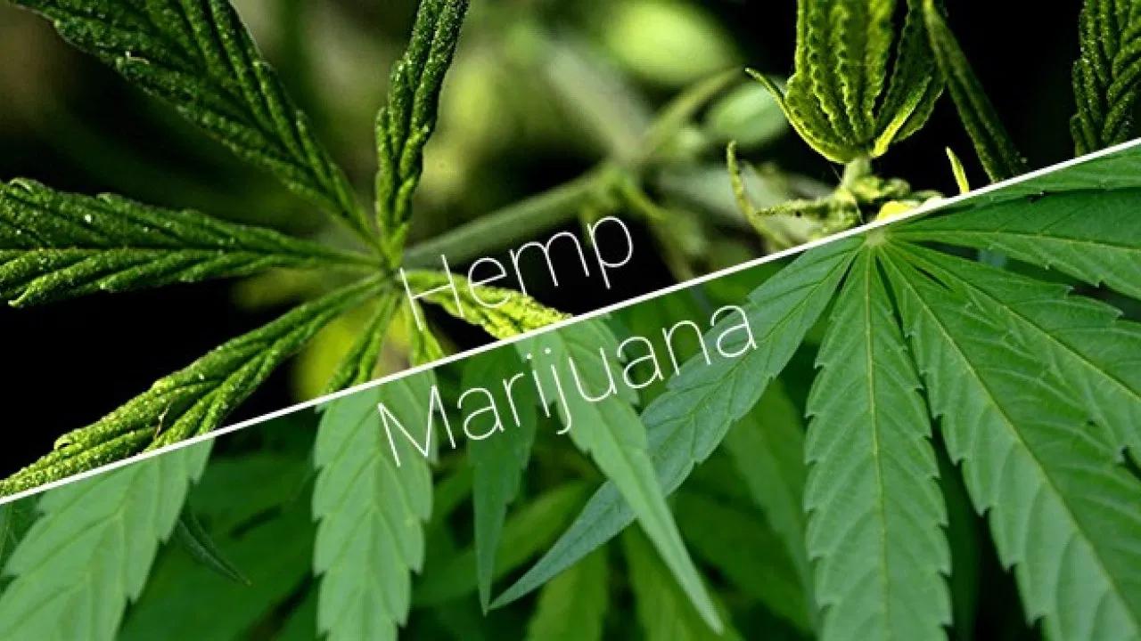 a composite image showing hemp vs marijuna