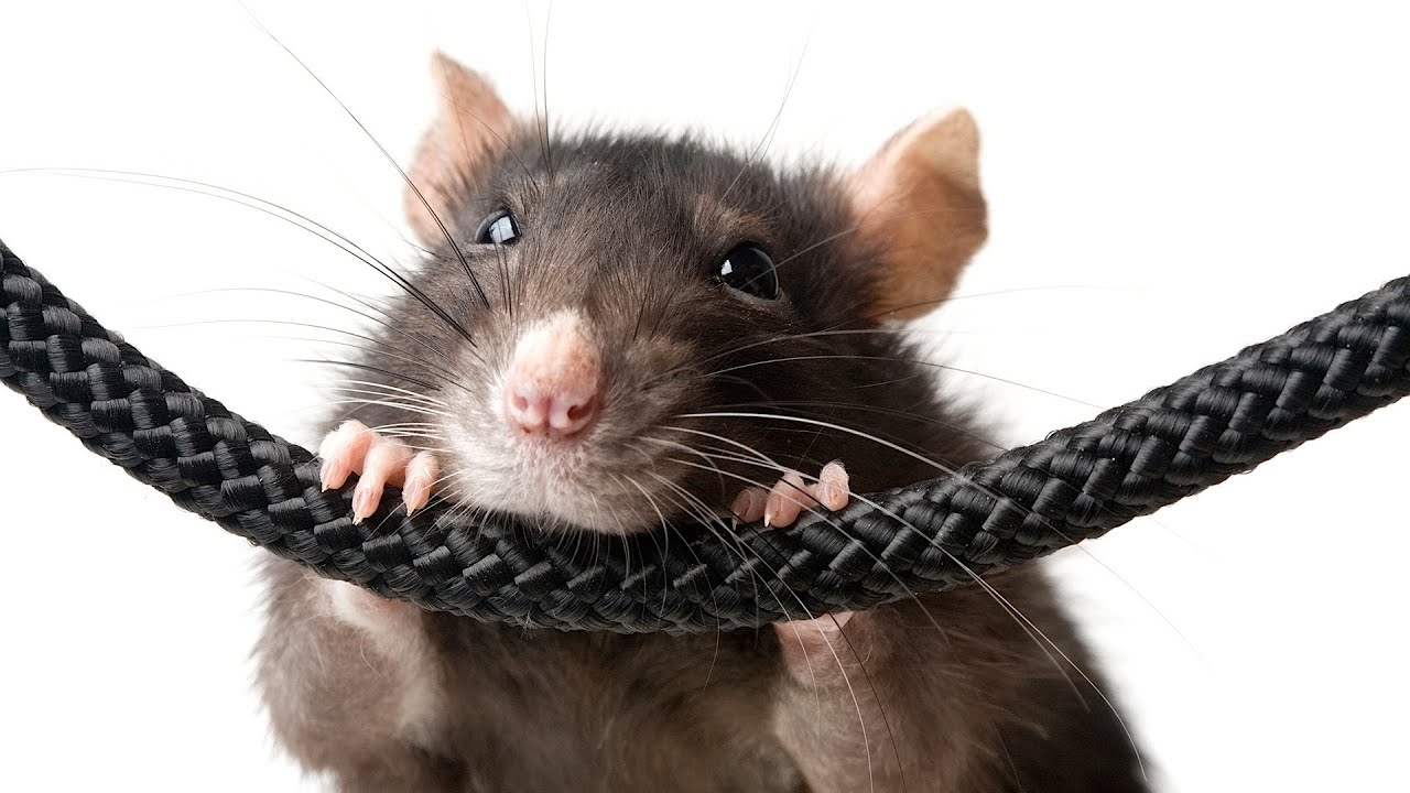 Rat chewing on a woven cord