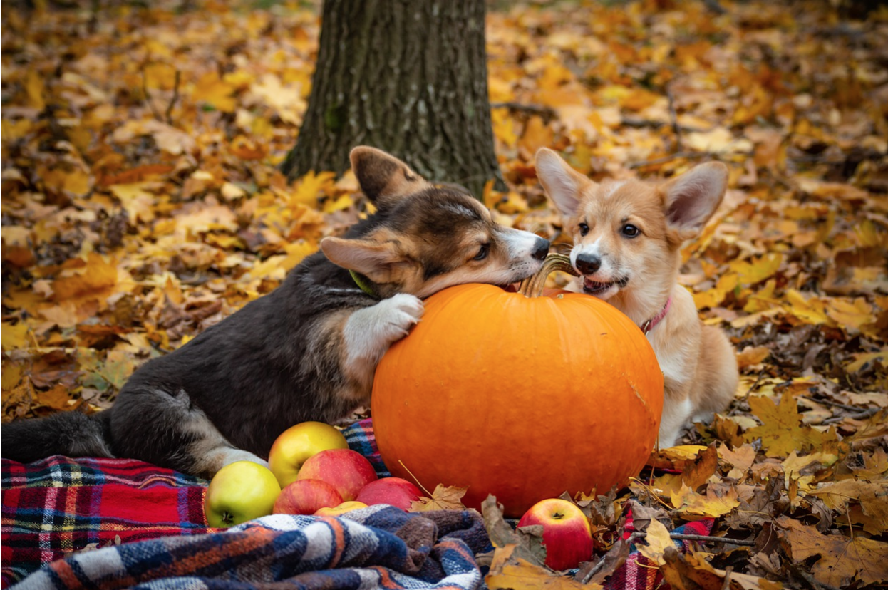 two corgis on a blanket surrounded by fall leaves with a pumpkin