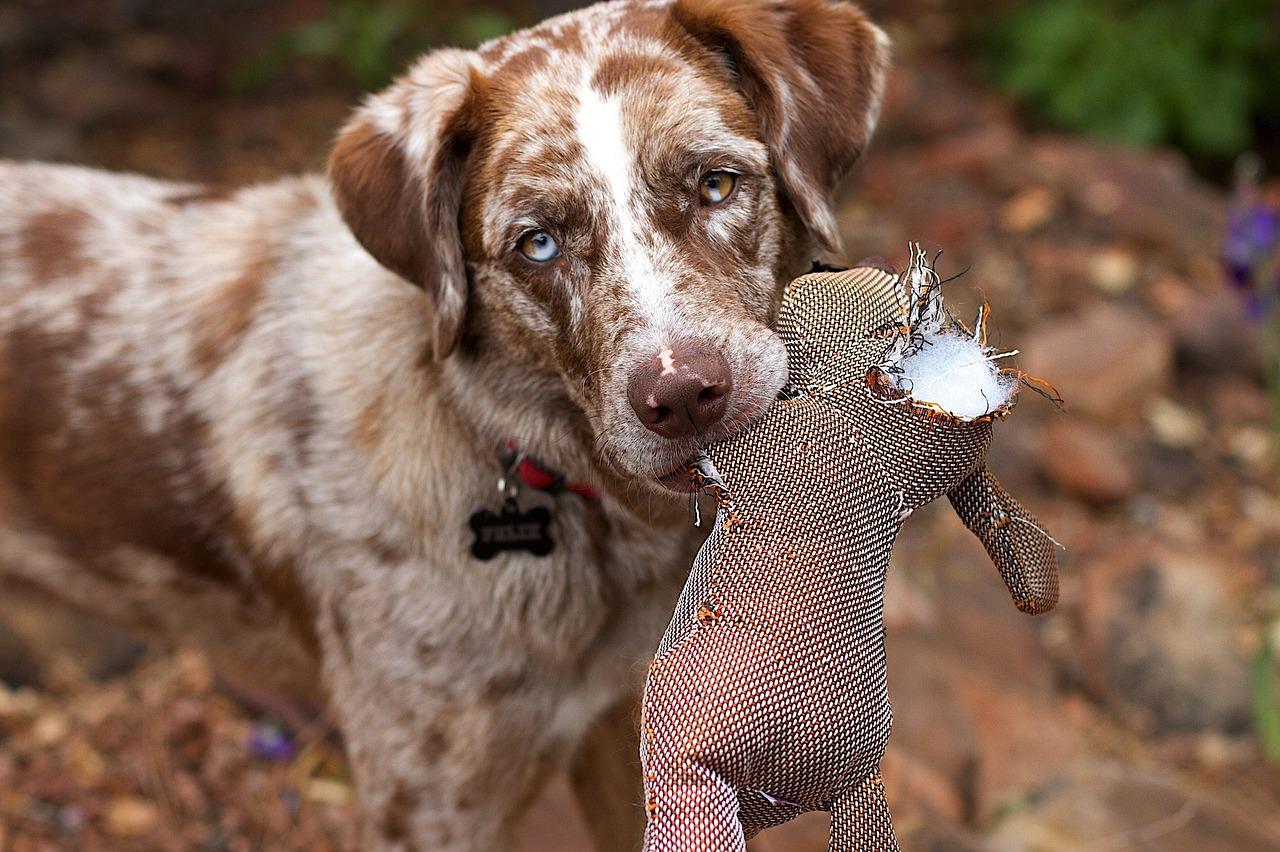 Dog outside holding up a chewed stuffed animal