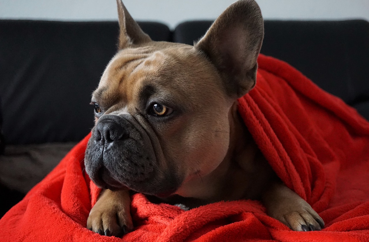 a brown french bulldog wrapped in a red blanket