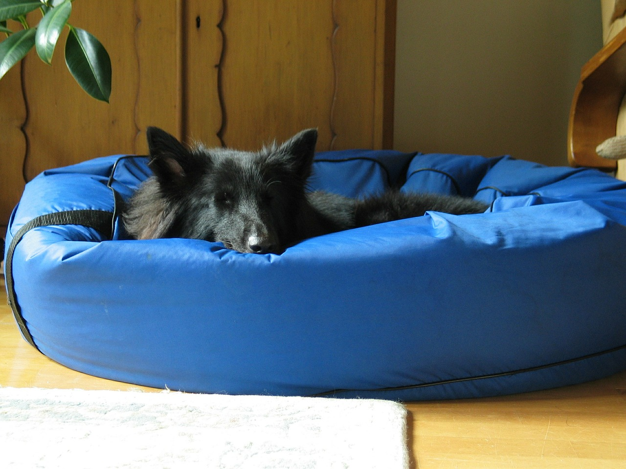 Black dog asleep in a blue dog bed that resembles a bean bag chair