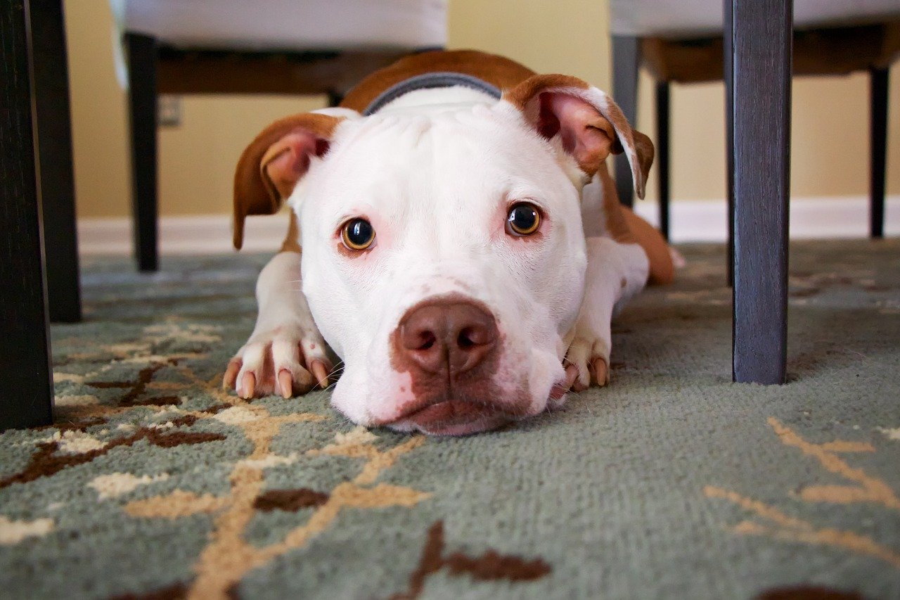 a terrier mix with a white face laying on the floor