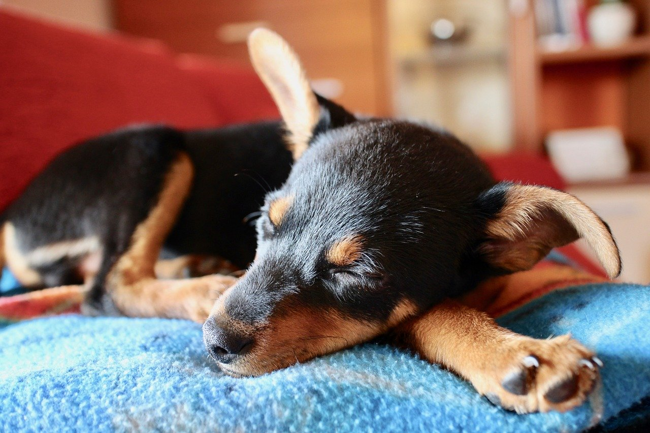 Puppy sleeping on a blanket