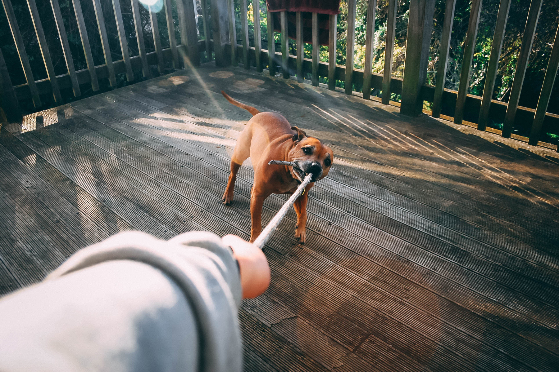 Dog pulls on rope on a deck surrounded by woods