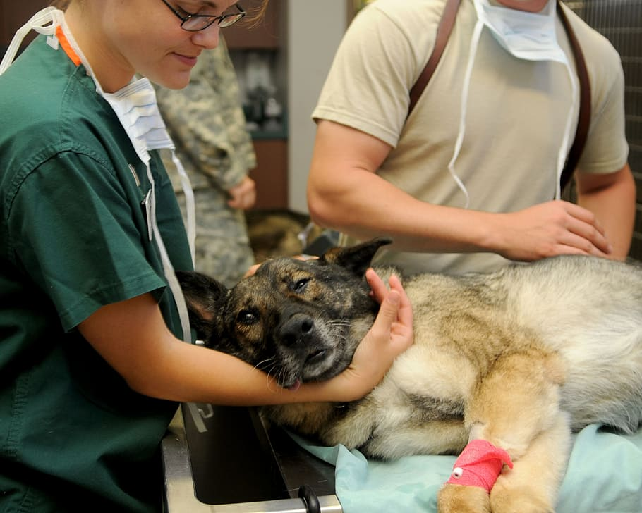 A veterinarian comforts a german shepherd on a hospital table