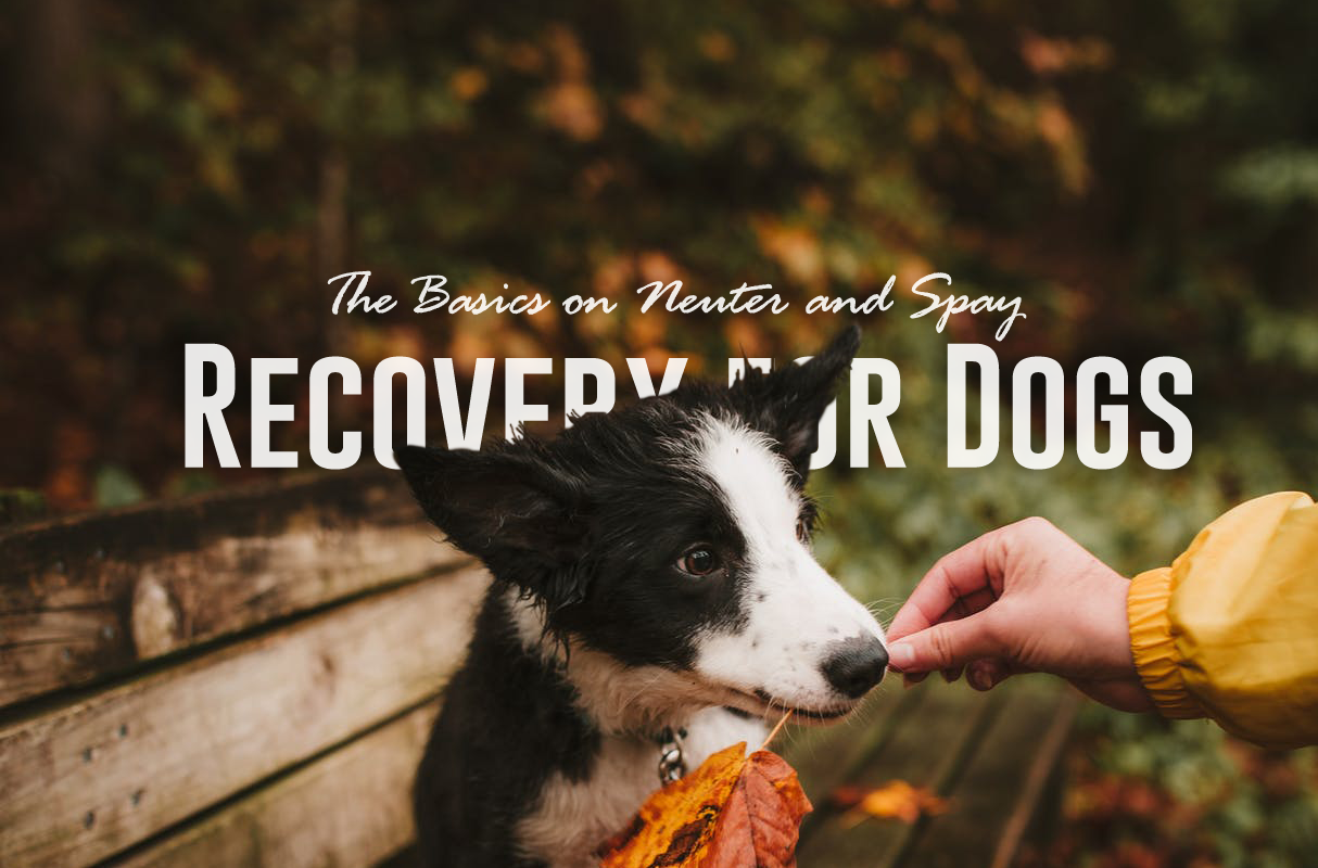 The Basics on Neuter and Spay Recovery for Dogs