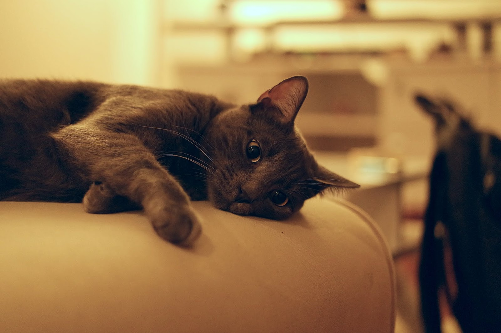 a gray kitty lounging on a sofa