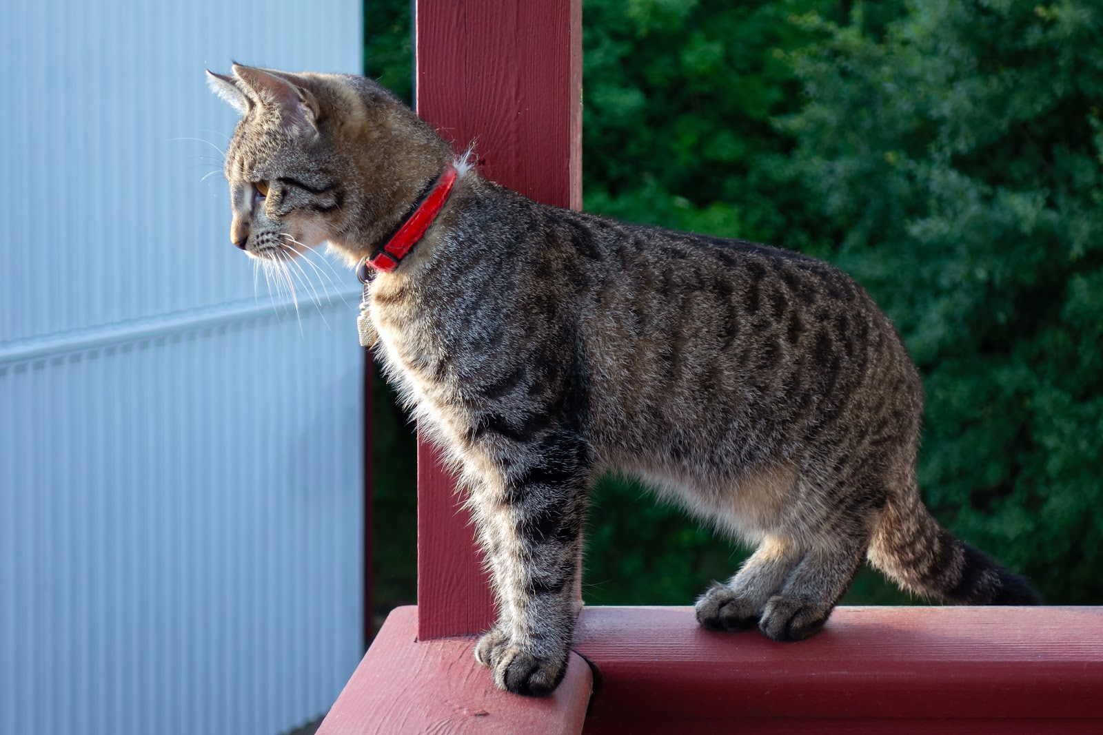 a healthy cat perched on a red porch