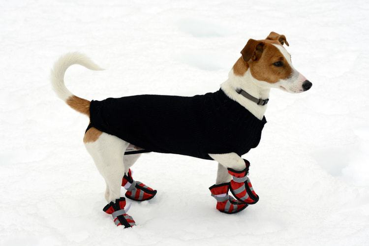 A cute pooch wearing puppy boots to protect his paws from the snow
