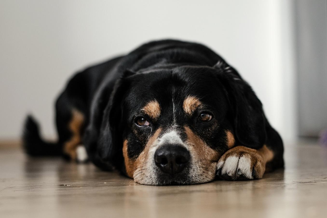 black and brown dog sleeping on a wood floor