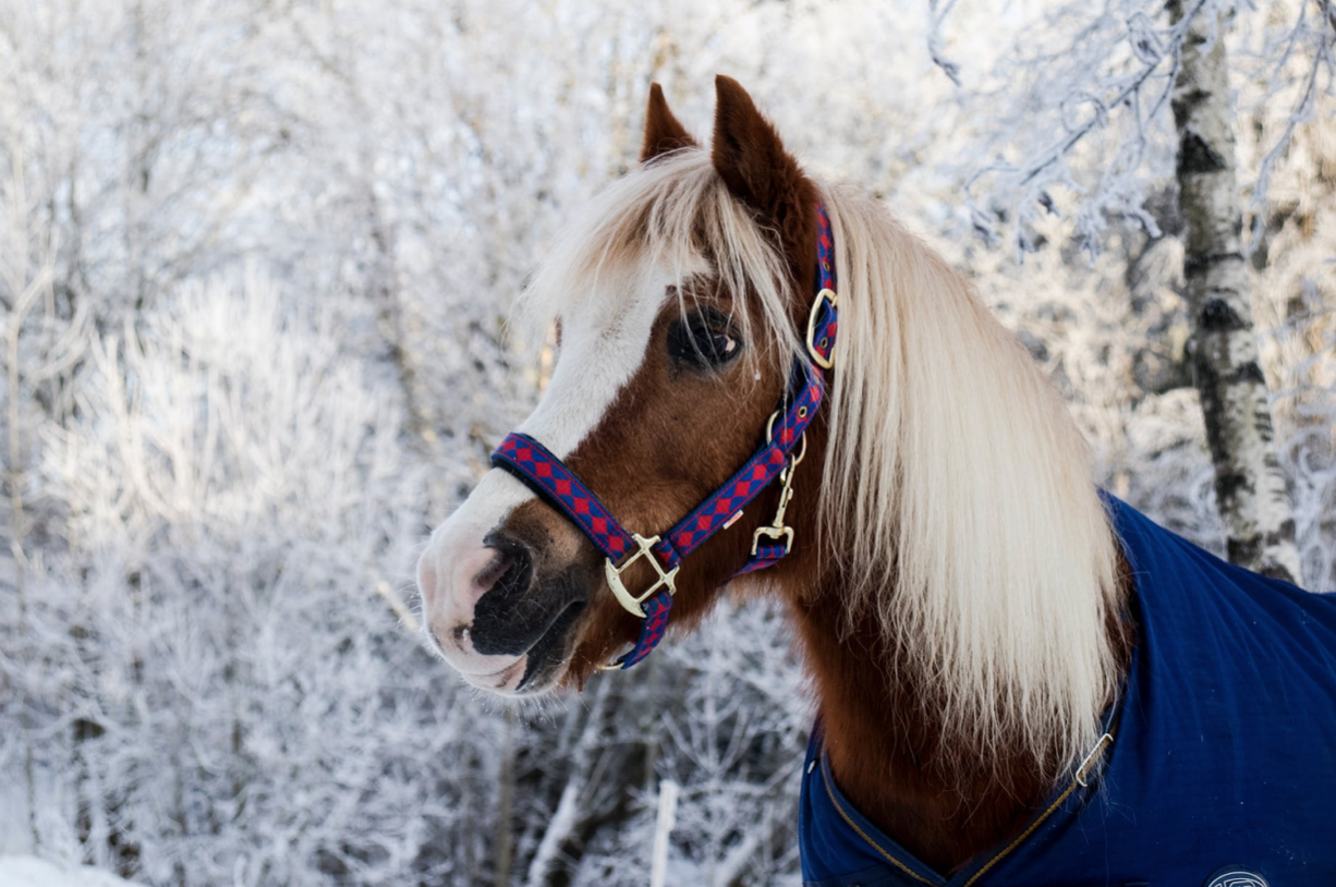 a brown horse with a white mane wearing a blue blanket in the winter