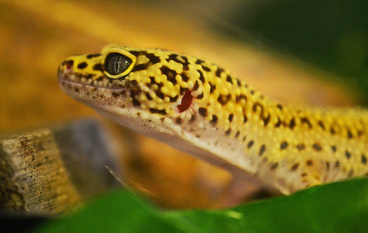 A closeup of a yellow leopard gecko