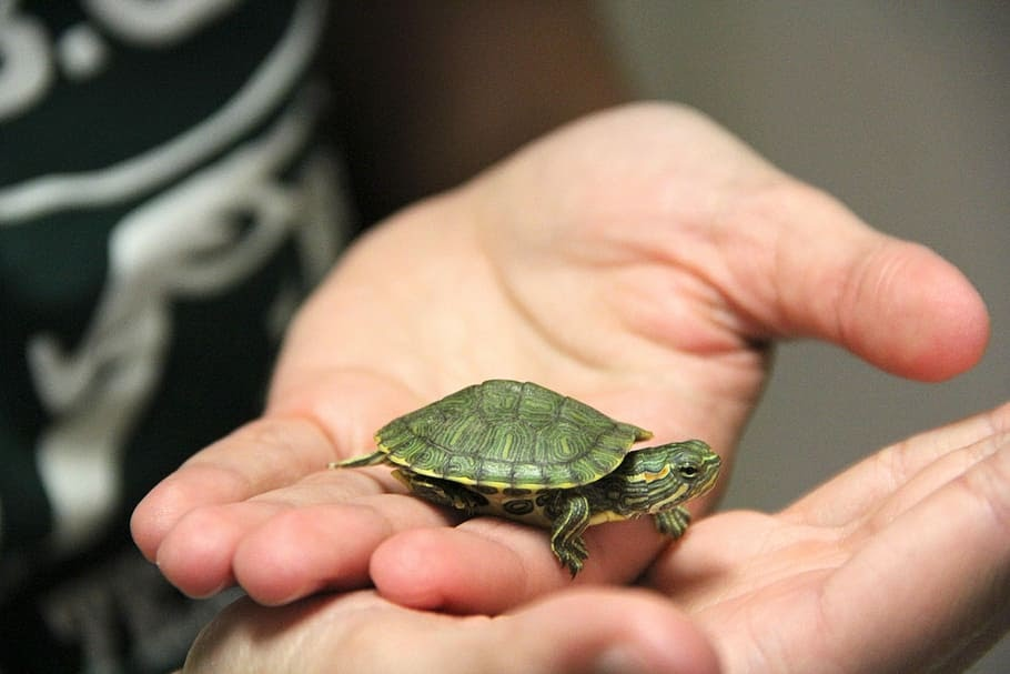 A small turtle in the palm of a person's hand