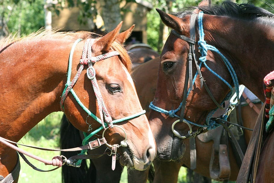 two brown horses standing together