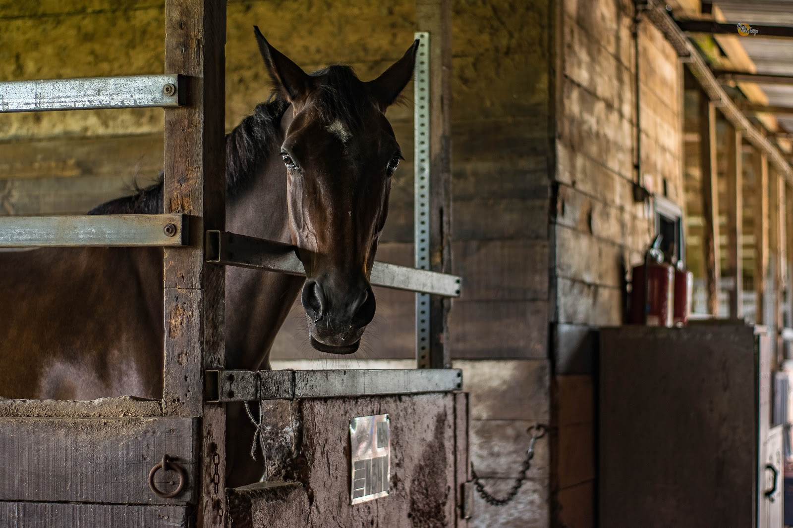 A dark black horse standing in a stall and. looking ahead at the camera