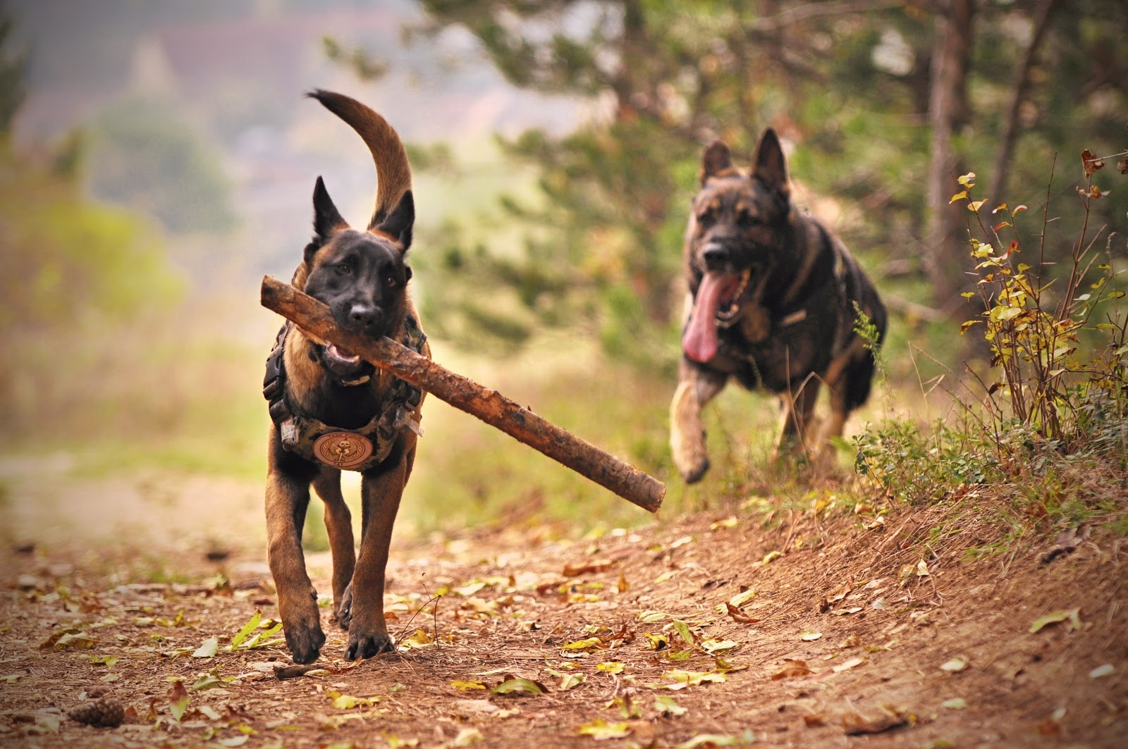 Two German shepards running, one carrying a stick