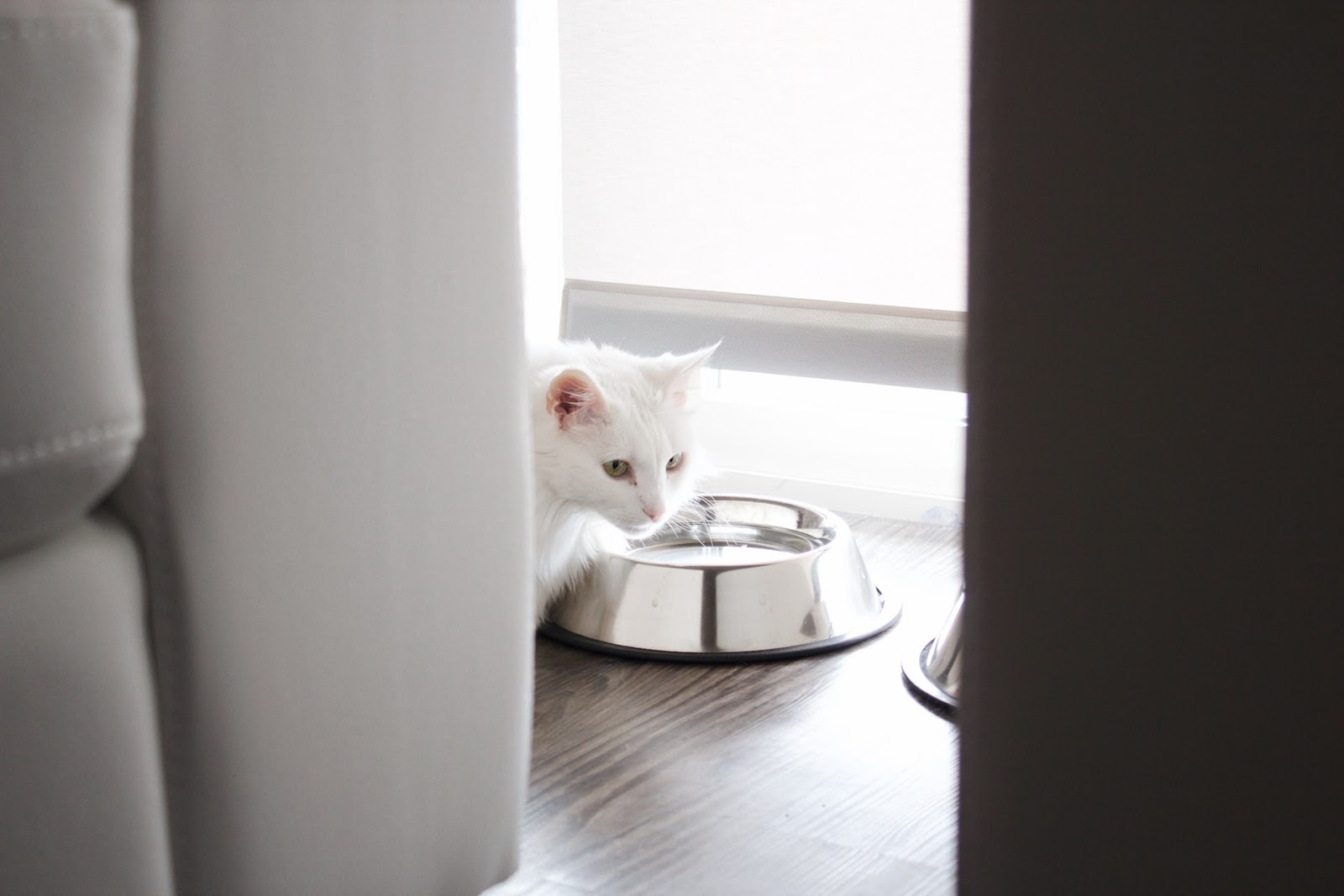 A white cat is looking into a silver food dish