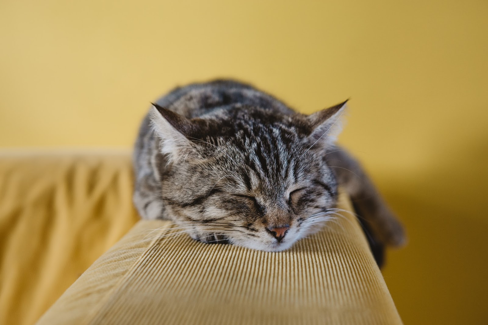 A tabby cat is cozily sleeping on the arm of a couch