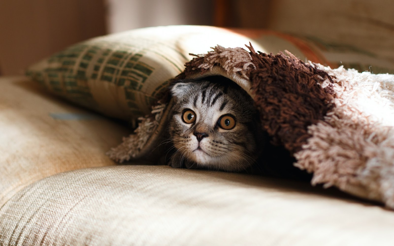 A grey cat poking its head out from under a blanket