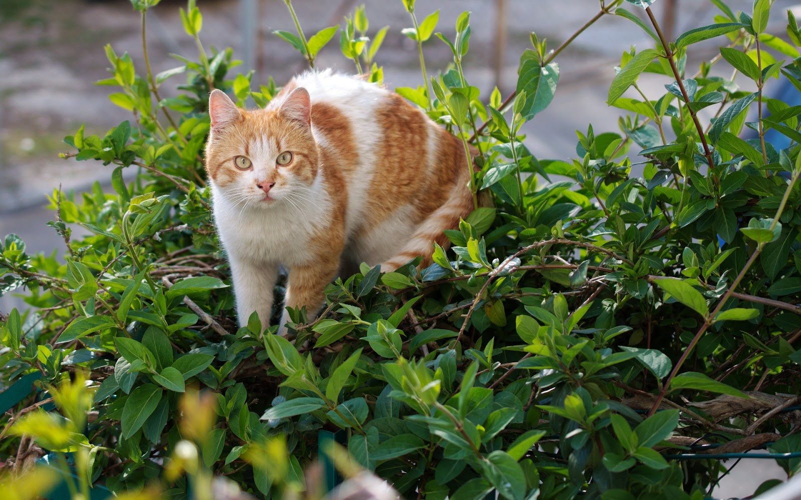 Orange and white cat walking in plants