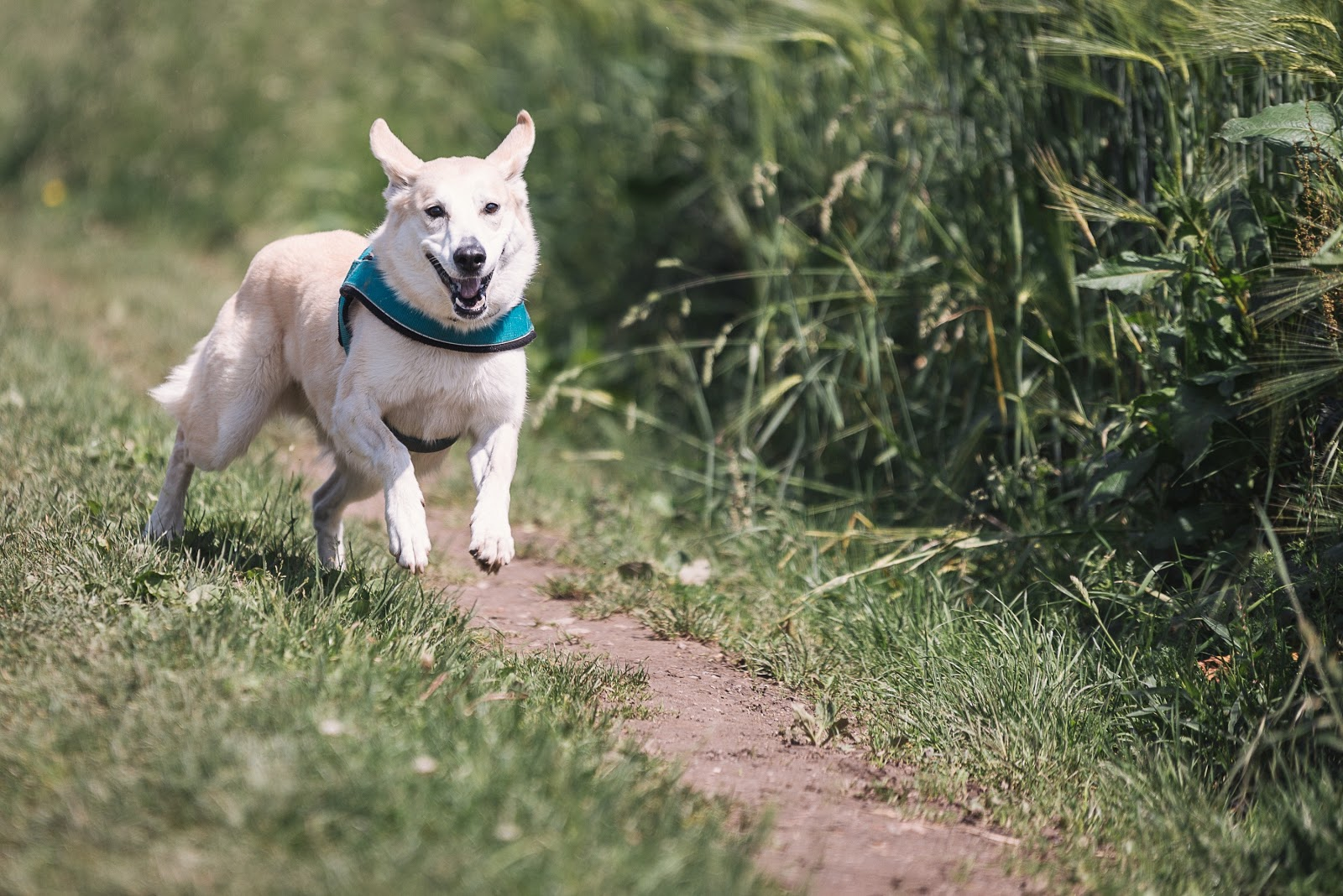 A large white dog in a harness runs through a park.