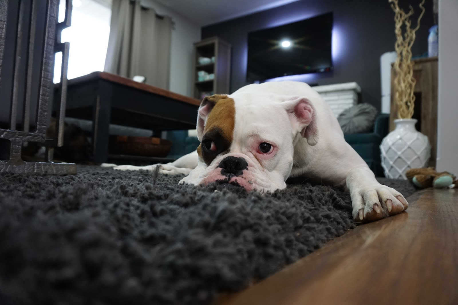 A tan and white dog lays on a carpet in an apartment.
