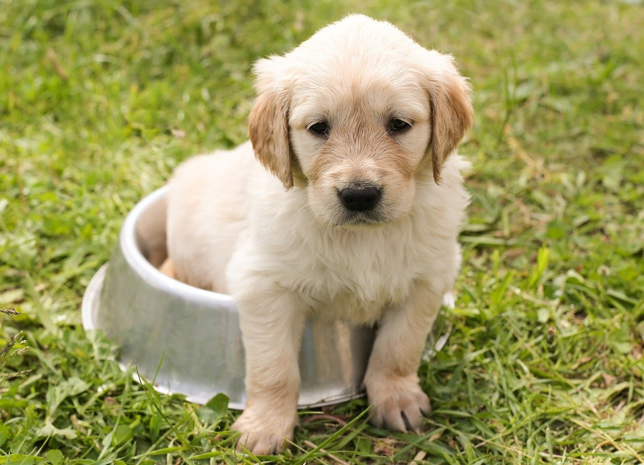 A golden retriever puppy sits partially in a dog food bowl.