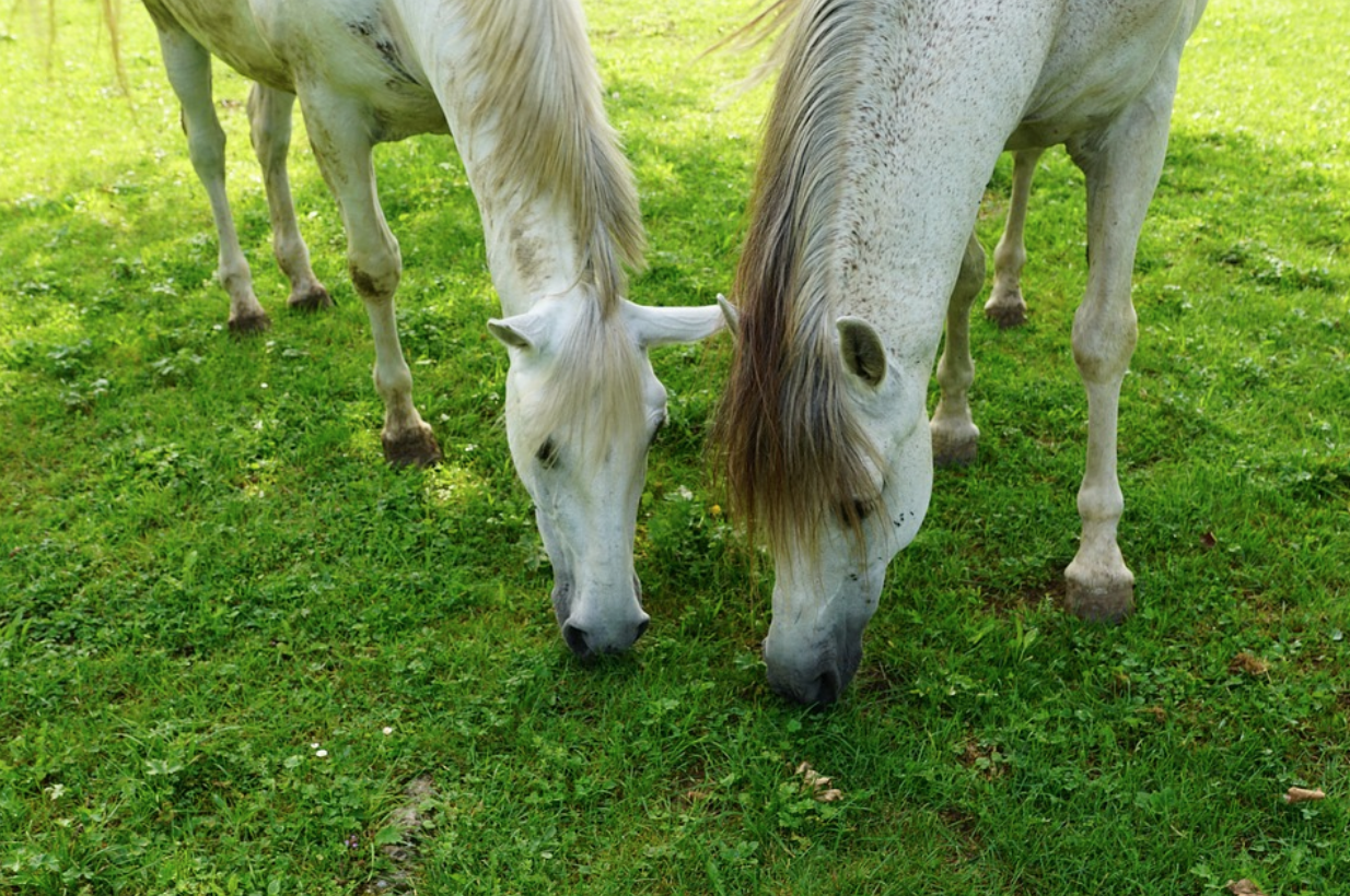 two white horses munching on grass together