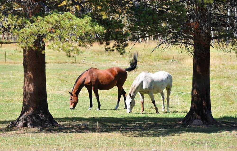 A brown horse and a white horse grazing between two trees