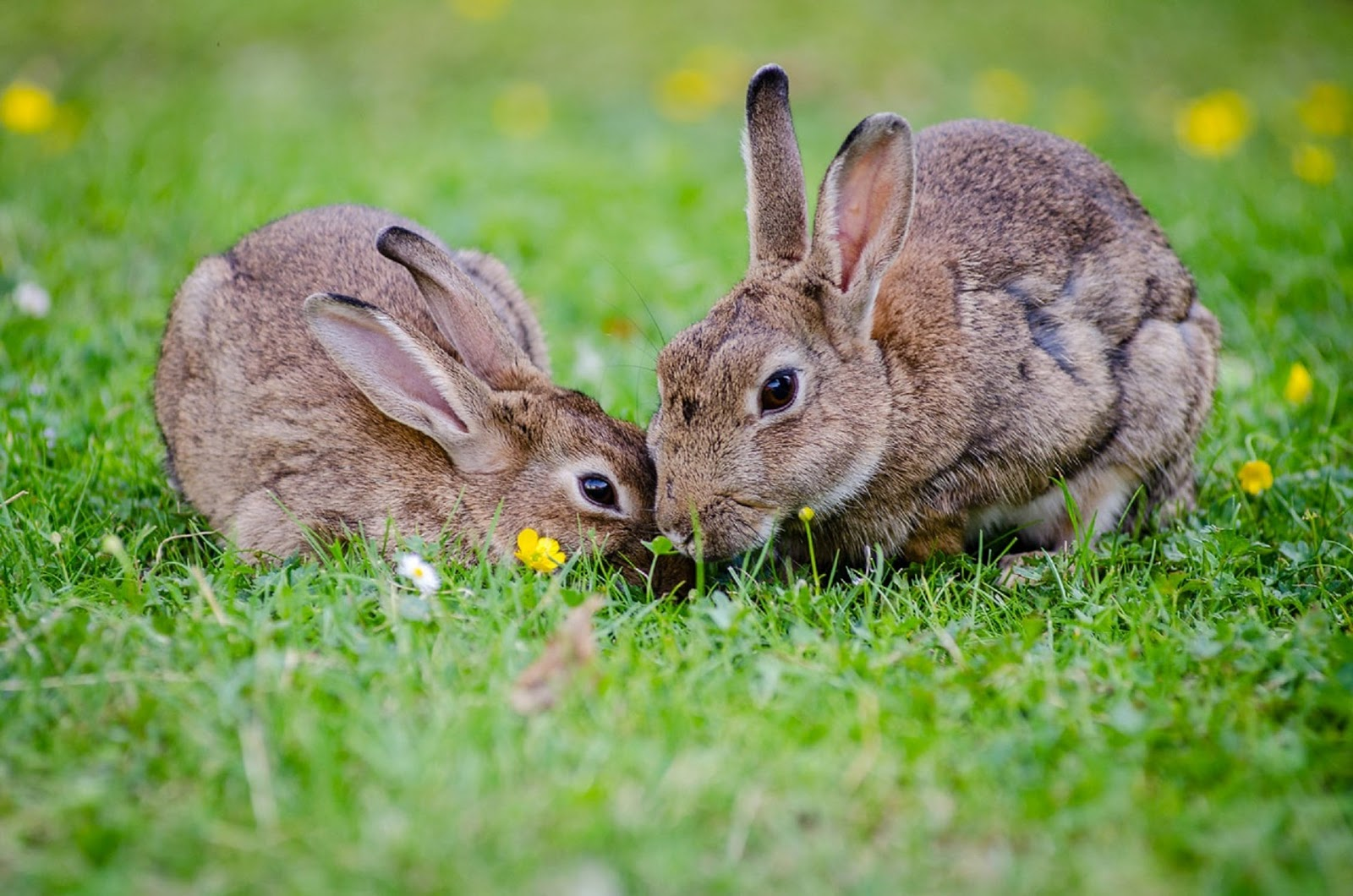 Two rabbits eating grass together