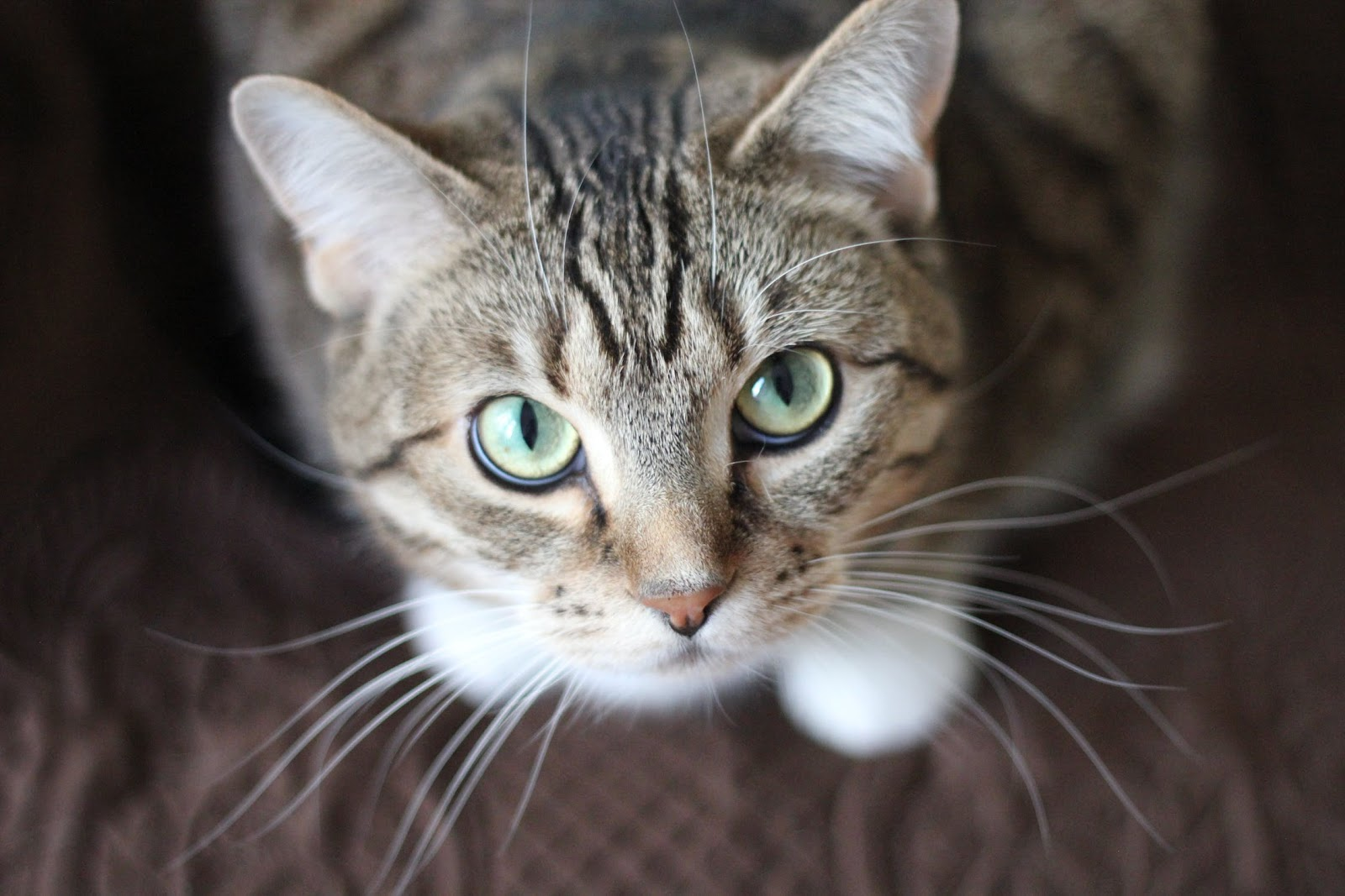 A tabby cat looking directly into the camera