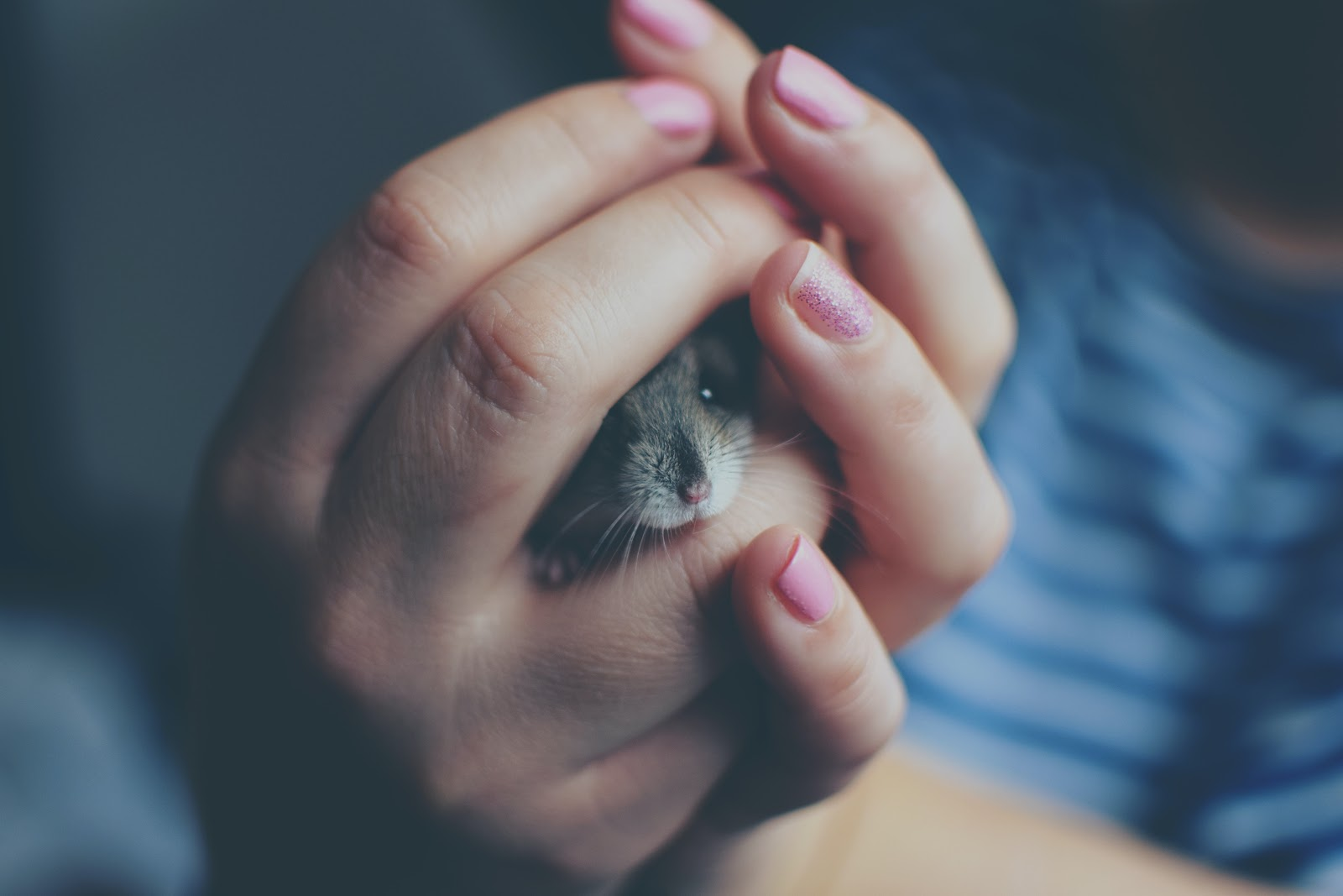 A girl holds her pet hamster in her hands.