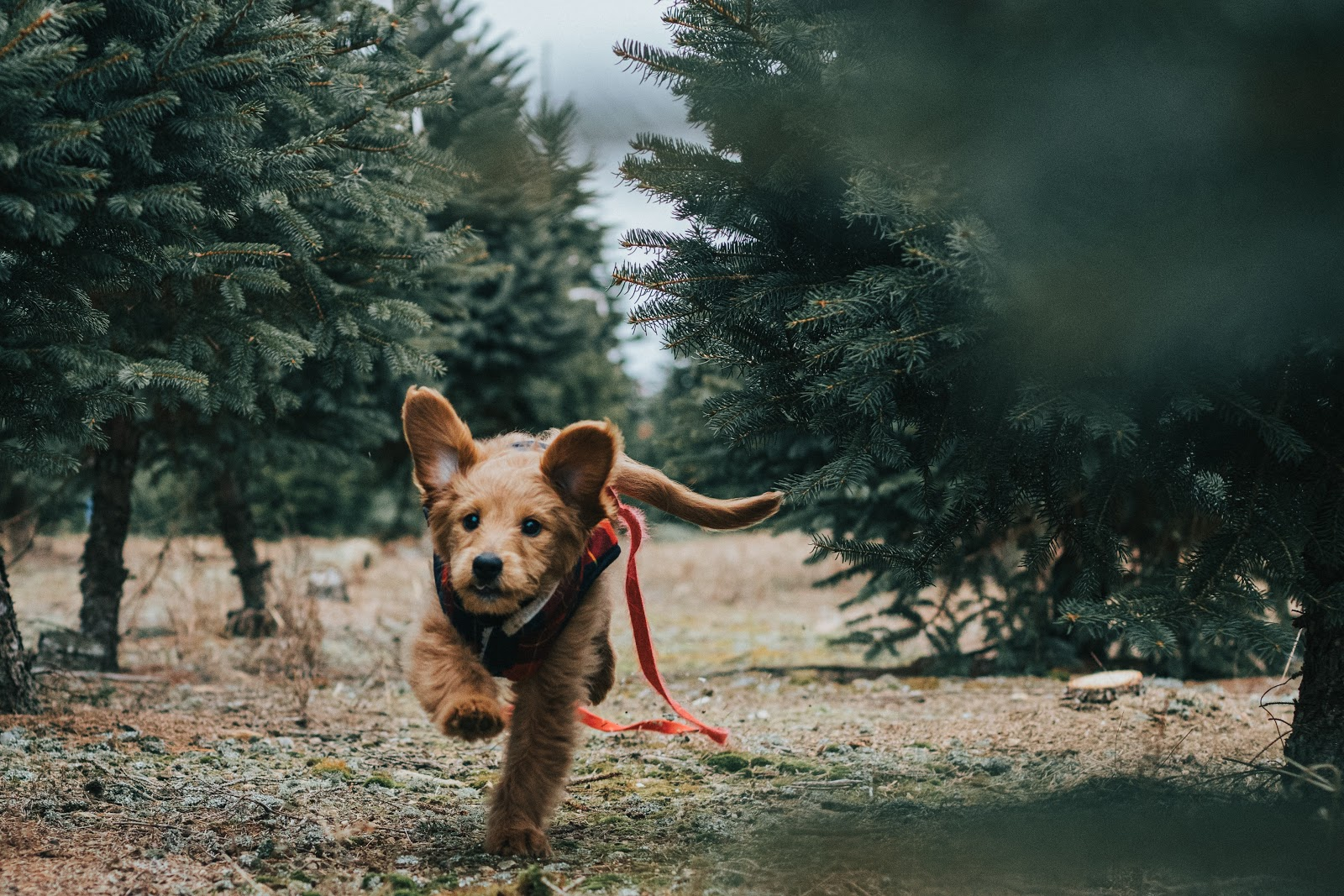 Small dog running through a field of pine trees