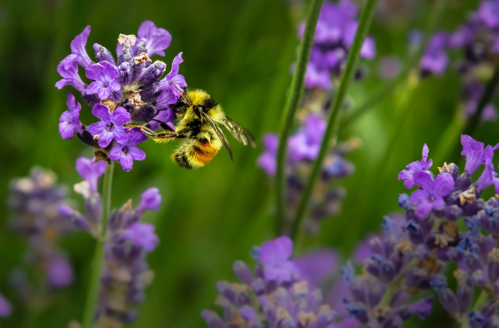 A bee on a purple flower in a field