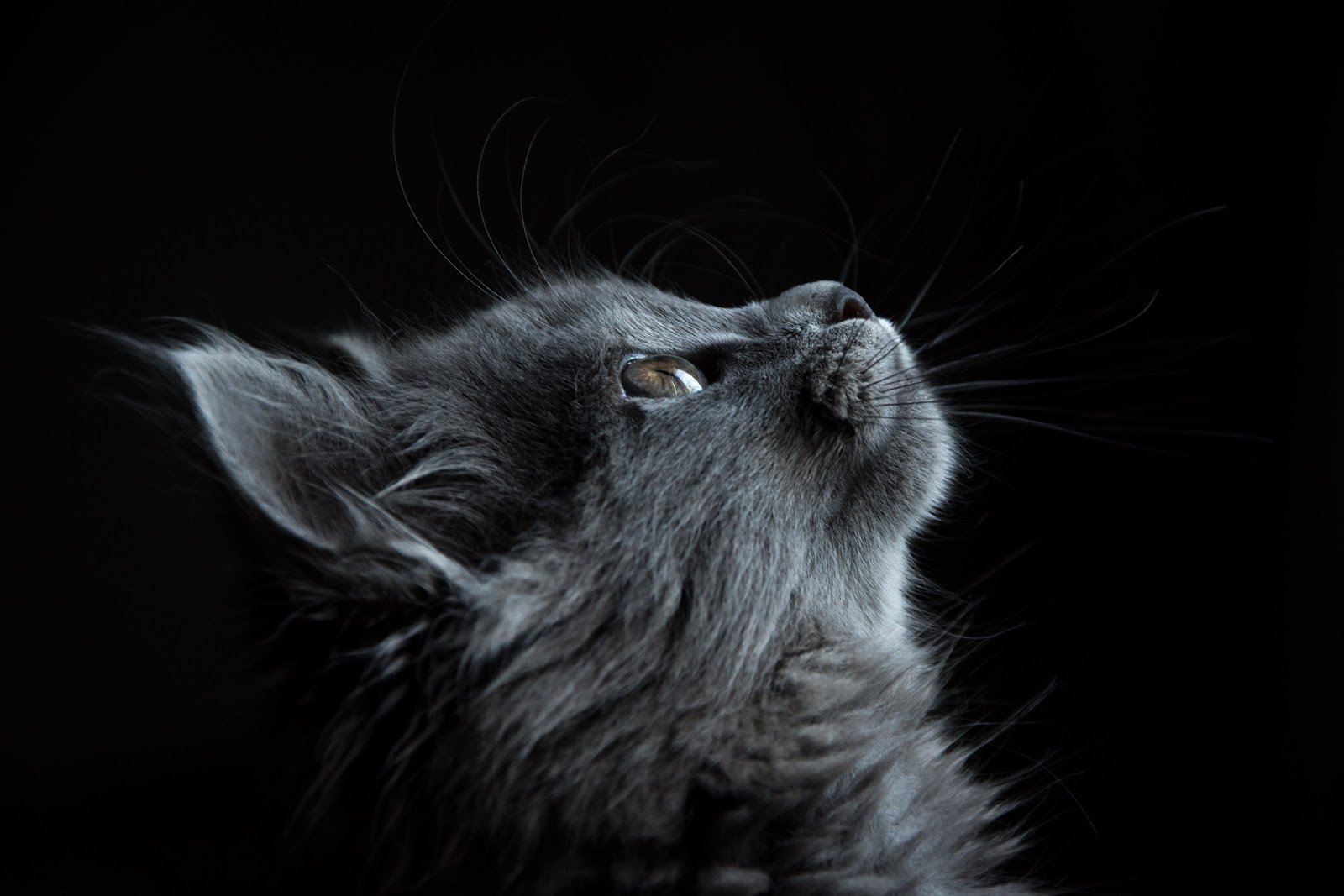 A gray kitten looks up, hoping to be adopted.